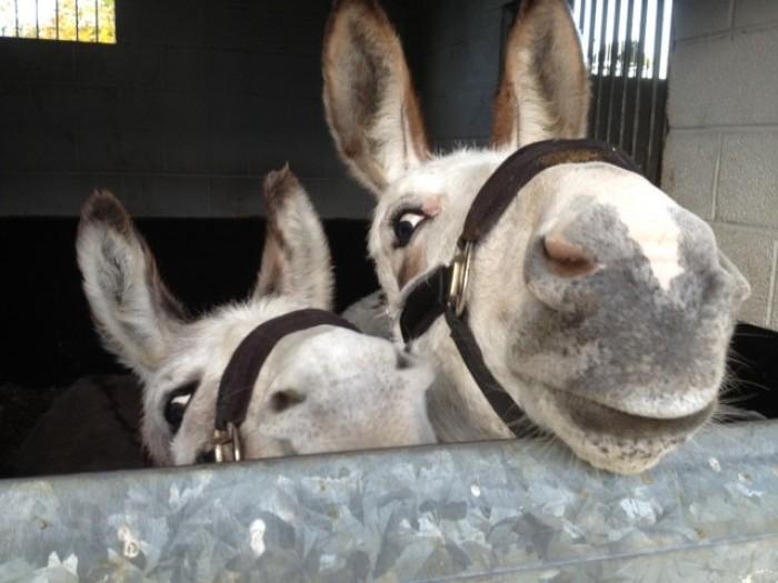 Tyrrells Equine - Donkeys