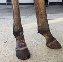 Equine Laser Surgery After